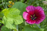 Bloom of a Mallow