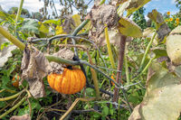 Dutch allotment garden in autumn with pumpkin