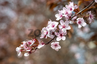 Sakura cherry blossom, soft focus. Nice spring background.