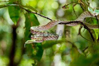 Asian Vine Snake, north Sulawesi, Indonesia wildlife