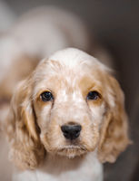 small purebred English Cocker Spaniel puppy