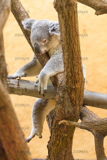 Koala bear totally tired out
