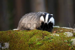 Fluffy european badger facing camera on mossy rock in summer forest