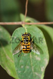 Eine Nahaufnahme von einer Biene auf einer Pflanze.