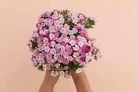 Person holding bunch of pink flowers lying on pink background