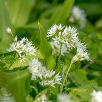 Soft-drawn wild garlic leaf flowers with leaves against blurred green background