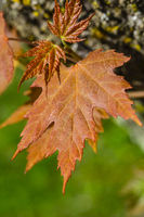 small maple leaves