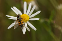 Great hover fly