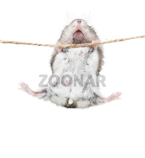 Little dwarf hamsters on a rope. Studio white bacground
