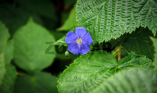 Small blue flower