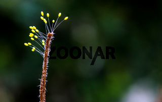 Sporophyte of fungus at the end of dried weed