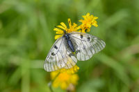Female Clouded Apollo, Parnassius mnemosyne