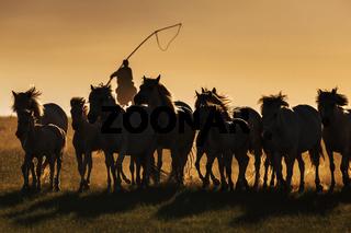 Mongolian white wild horses running on the endless grasslands