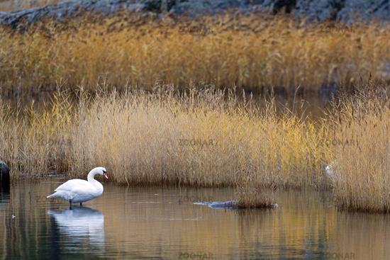 Mute Swan adult bird in the swedish archipelago near Stockholm in autumn