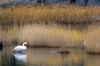 Mute Swan adult bird in the swedish archipelago near Stockholm in autumn