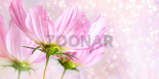 Cosmos flowers on soft pastel background
