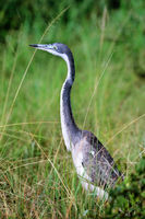 Black-headed heron at Queen Elizabeth National Park, Uganda (Ardea melanocephala)