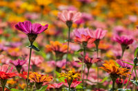 colorful cosmos flowers farm