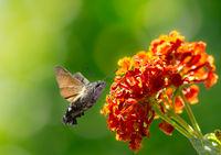 Hummingbird hawk-moth flying to a lantana flower