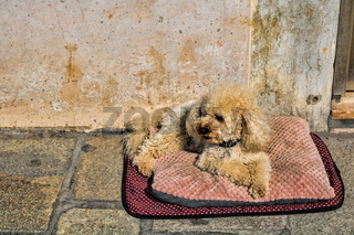murano, italy - 14.03.2019 - little dog on a pillow