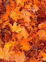 Colorful seasonal autumn background pattern, carpet of fallen maple leaves.