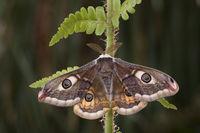 small emperor moth - male