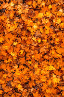 Colorful seasonal autumn background pattern, carpet of fallen forest leaves.