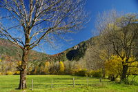 Cattle pasture with fence with autumnal mountain forest in the background and bare tree in the foreg