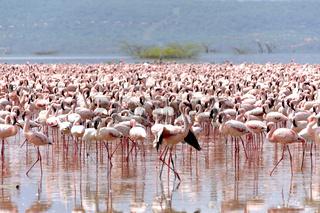 Flamingo stellt sich zur Schau, Bogoria See