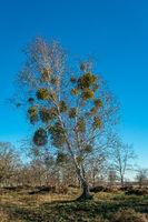 Mistletoe trees in winter
