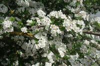 20200506_Crataegus monogyna, Eingriffliger Weißdorn, Common Hawthorn011.jpg