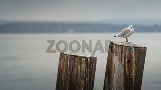 Seagull sitting on a bollard at Lake Constance