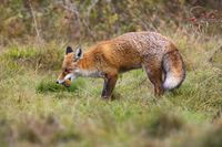 Fierce red fox holding dead european robin in mouth on meadow
