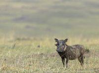 Common warthog, Phacochoerus Kenya, Africanus, Maasai Mara National Reserve, Kenya, Africa