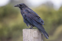 A Portrait of a Wild Raven in Northern California, USA