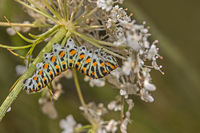 Swallowtail caterpillar Papilio machaon