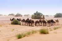 Herd of camels in the Sahara in the sandstorm, Morocco, Africa.