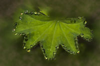 Water trop on leaf of lady's mantle 'Alchemilla'