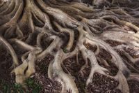 Old mystery roots in forest