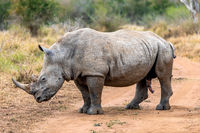 White rhinoceros or square-lipped rhinoceros is the largest extant species of rhinoceros.