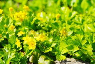 Gelbe Blüten und grüne Blätter einer Golderdbeere