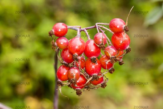 Rosa glauca, Redleaf Rose with rose hips
