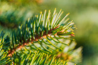 Natural branch pine Christmas tree with needles growing in forest. Macro shot, close-up