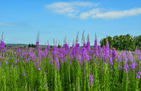 Summer meadow with blossoming pink fireweed flowers covered
