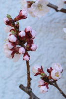 Apricot tree - buds and flowers, close-up