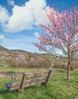 Almond Blossom,Palatinate,Germany