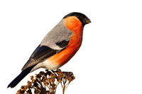 Male eurasian bullfinch sitting on dry flower cut out on blank