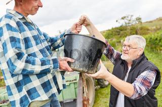 Zwei Erntehelfer verladen Weintrauben im Eimer