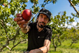 caucasian man shows organic nectarine
