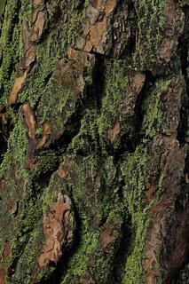 Kieferrinde (Pinus)
